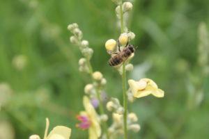 Пчелы Бакфаст