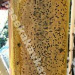 Пчелы Бакфаст, расплод