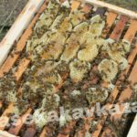 Пчелы Бакфаст F1 Пасека на Кавказе
